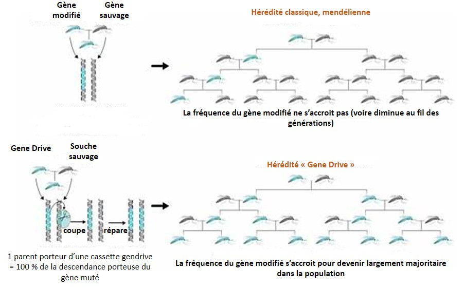 moustique_gene_drive
